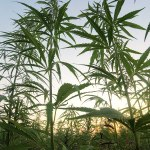USDA Open to Changes to Hemp Rules, but not THC Limits