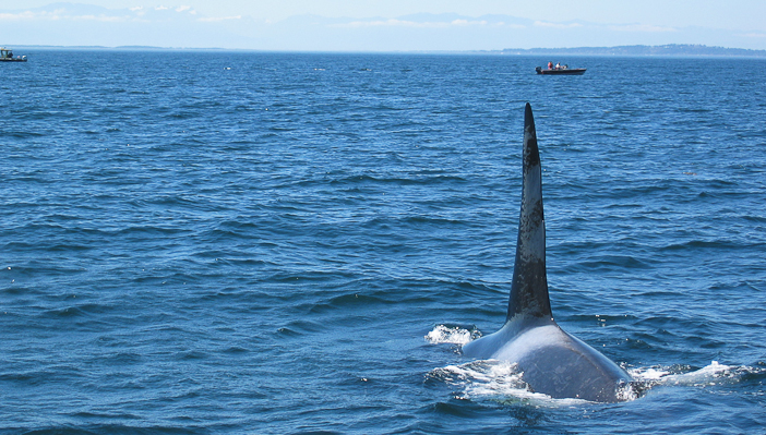 Bull_Killer_Whale_near_Victoria_BC