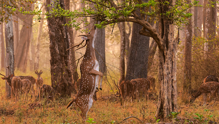 Chital stag browses in Nagarhole National Park, India. Photo by Yathin Krishnappa.