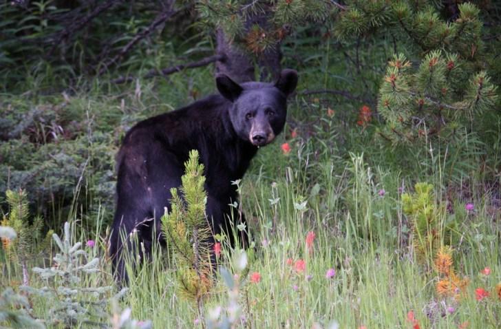 Black_bear1