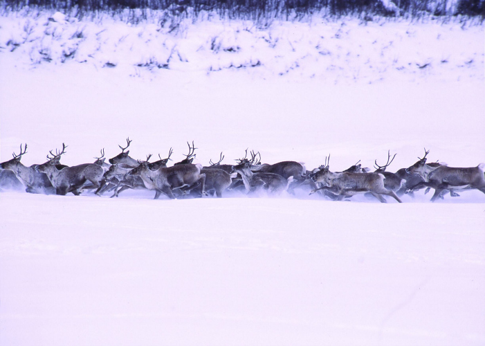 The Peel watershed is part of the winter range of the barrenground Porcupine caribou herd. Every year, the huge herd migrates from calving grounds in the Arctic National Wildlife Refuge in Alaska, to wintering grounds in the northern Yukon. Photo by Karsten Heuer/courtesy ProtectPeel.ca
