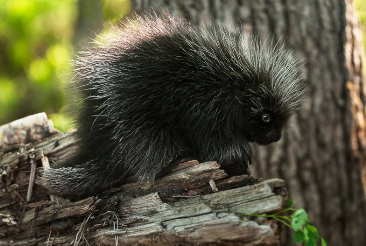 Baby Porcupine (Erethizon dorsatum) Stands on Branch - captive animal