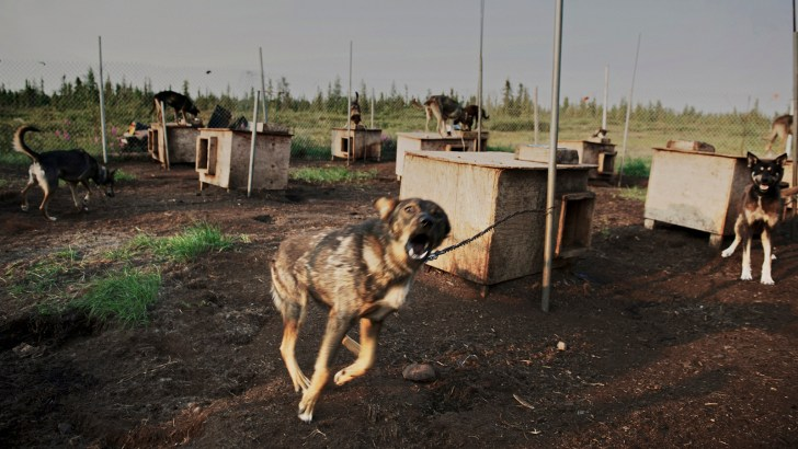 Sled dogs strain at their ties in Deline, NWT.