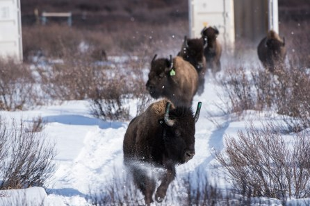 photo of plains bison as they emerged from their shipping containers as they were reintroducted to Banff National Park.
