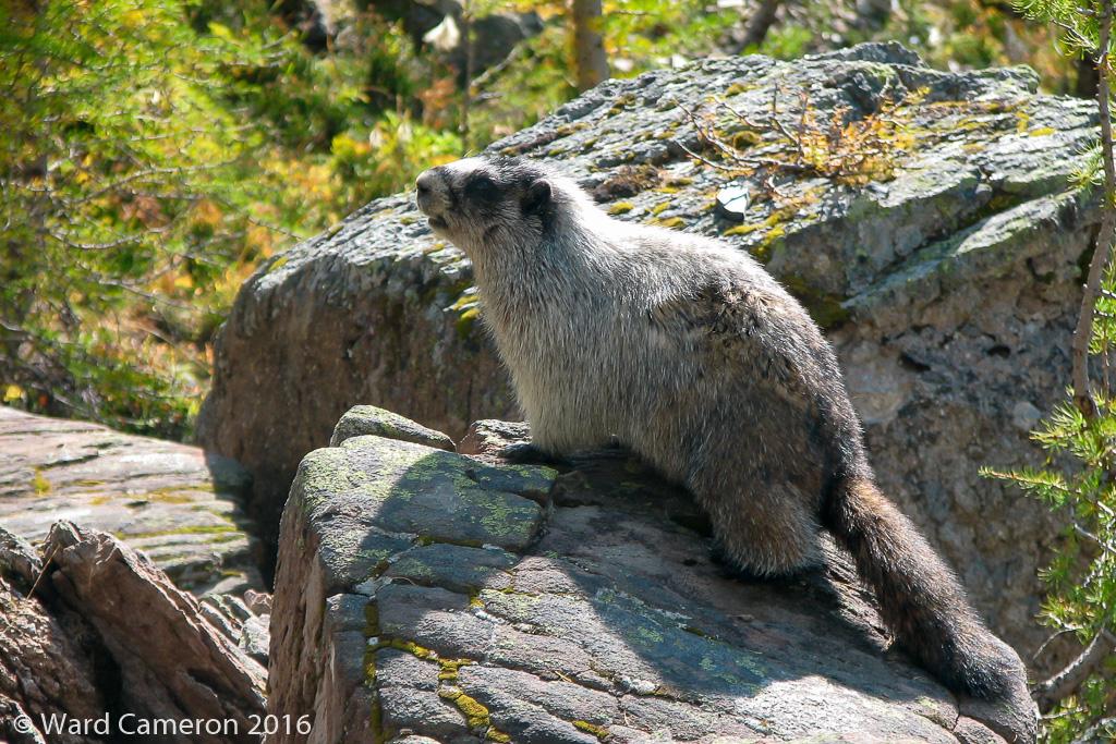 Hoary Marmot sunning on a rock