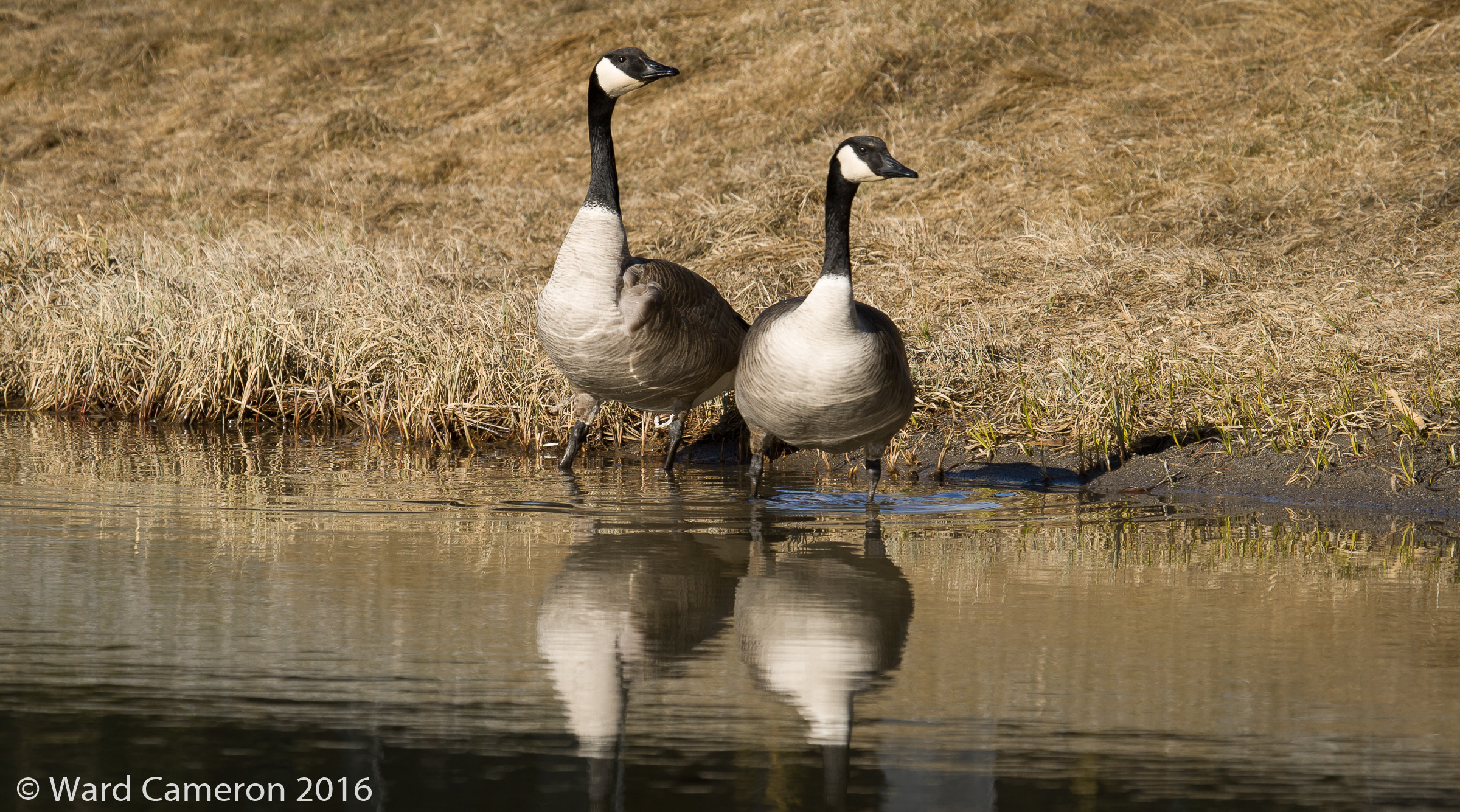 Photo of Canada Geese on Johnson Lake, Banff National Park, AB
