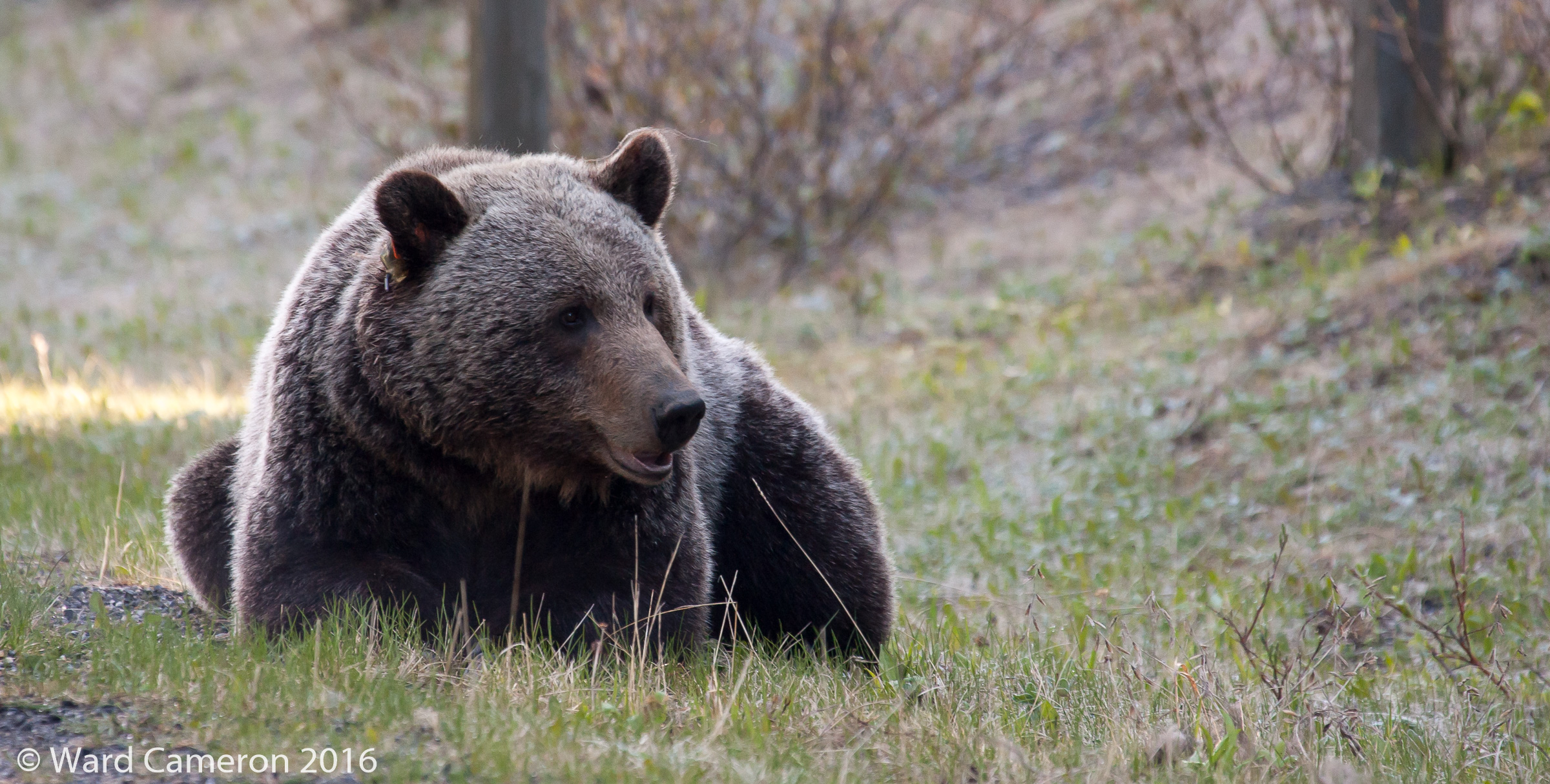 photo of Grizzly Bear #104 near Canyon Day-Use in Peter Lougheed Provincial Park, Kananaskis Country, Alberta