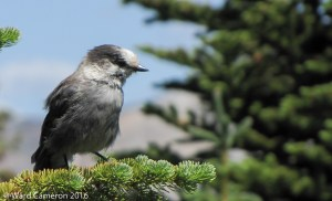 The Gray (or Canada) Jay has been selected as Canada's National Bird