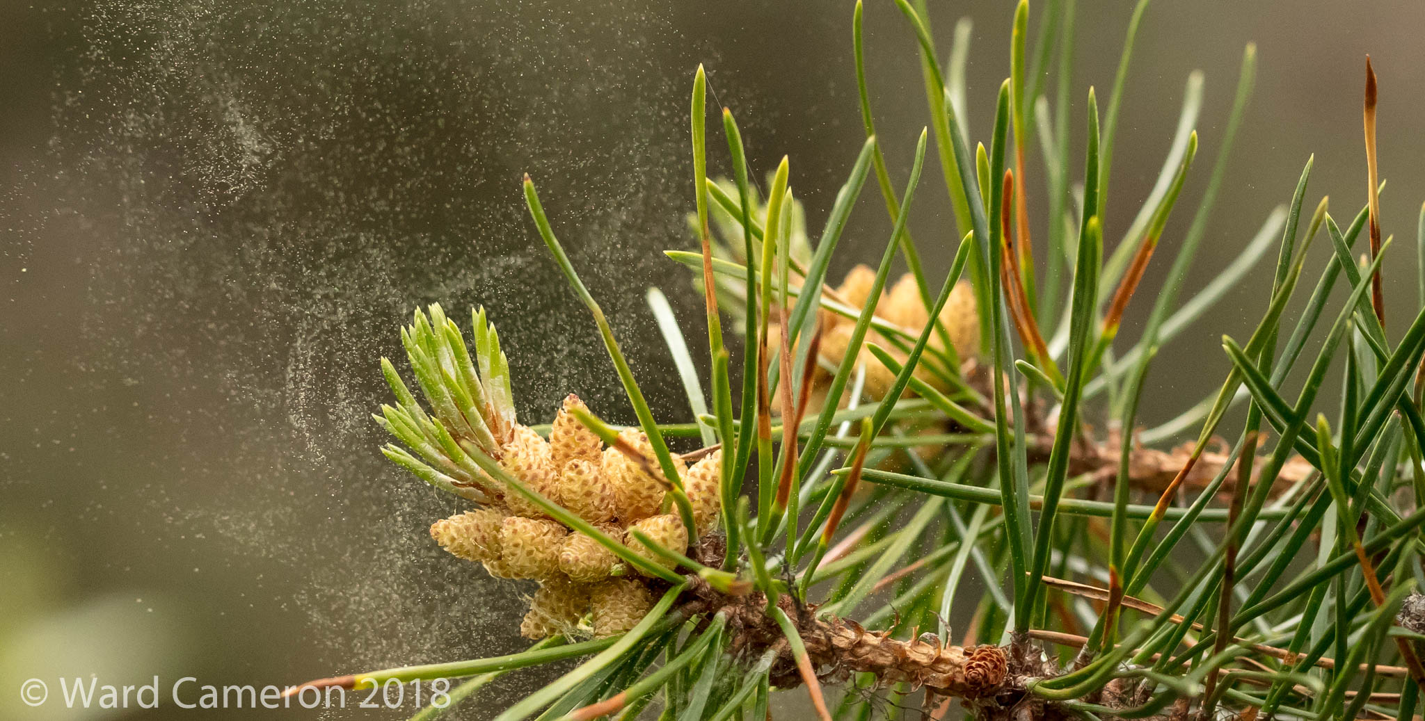 photo of lodgepole pine pollen being released from male cones.
