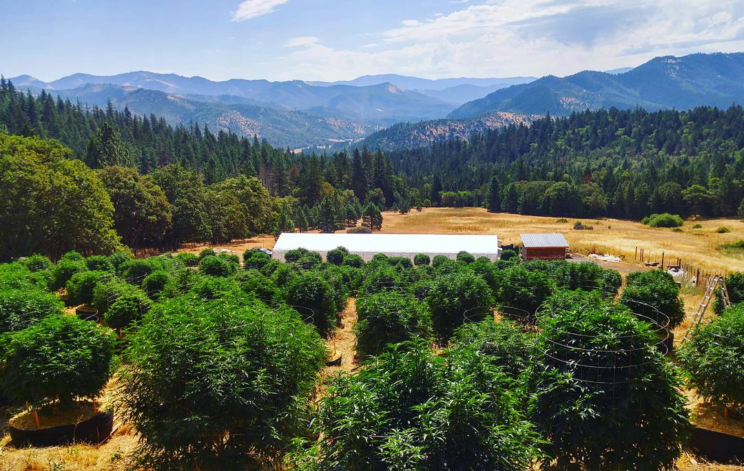Outdoor flower strains available now from Mountain Sun Botanicals