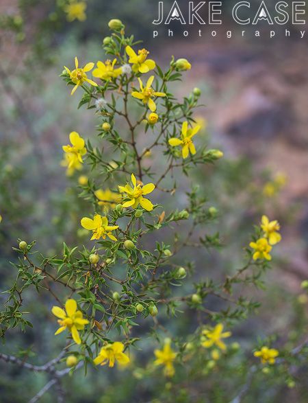 creosote bush desert wildflowers