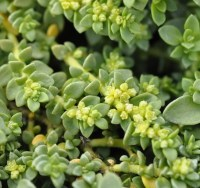 Herniaria glabra Green Carpet or Rupturewort