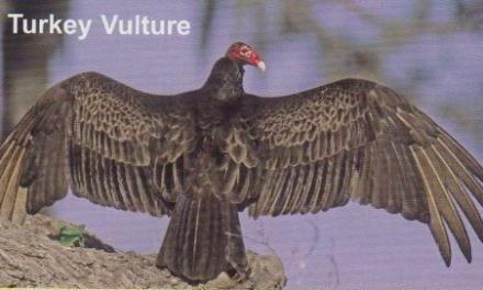Turkey Vulture… Nature's Rebel