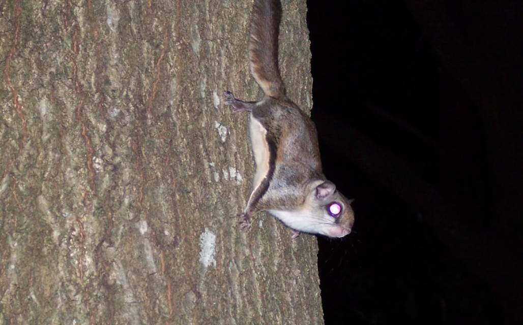 Mr. Sabin's Flying Squirrels