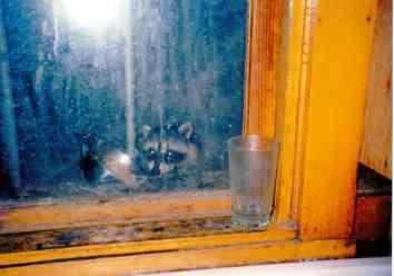 Naughty Raccoons