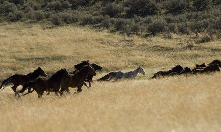 ~ Wild Horses – Lassen County near Nevada Border