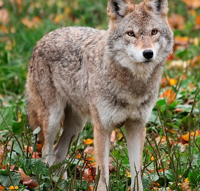 The Classic Coyote