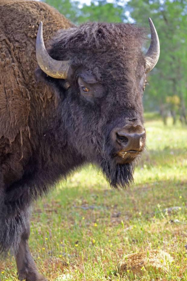 Buffalo1Buffalo head