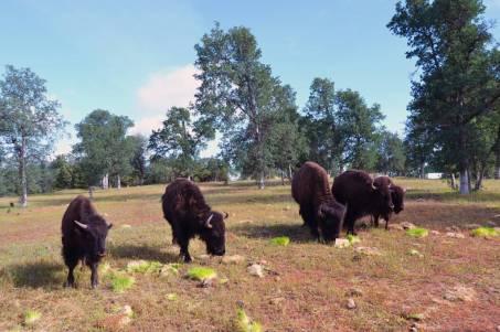 Buffalo2five buff