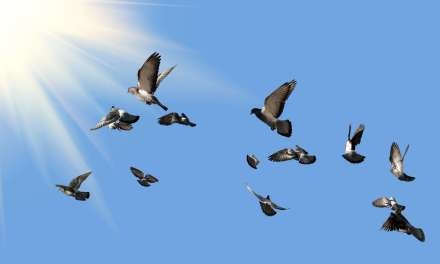 Ever See a Pigeon Race?