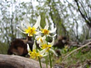 Fawn lily on Brokeoff Mountain Trail courtesy NPS