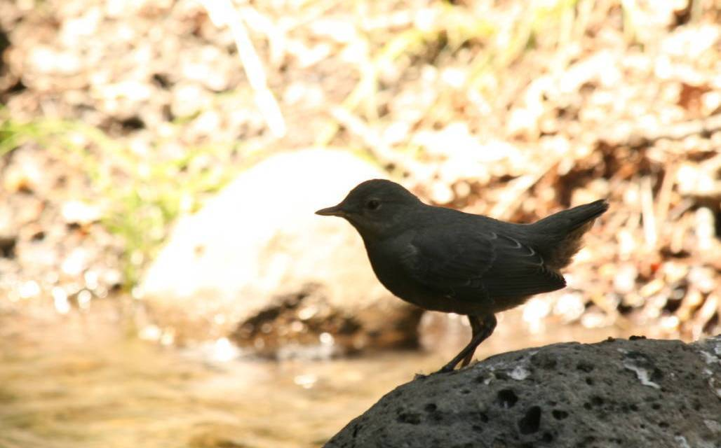 BIRDWATCH THE AMERICAN DIPPER BIRD