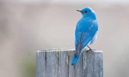 Marvelous Mountain Bluebirds