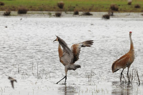 The Dancing Sandhill Cranes