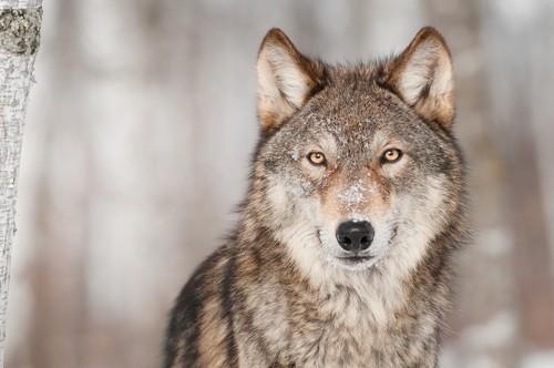 Wolves Return To  Northern California-Shasta & Lassen Packs Confirmed