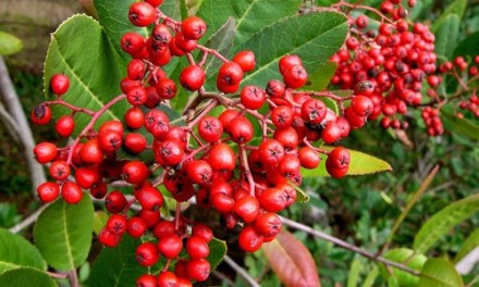 Food From The Wild- Toyon