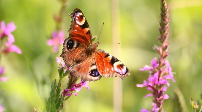 Chi l'ha vista? Segnalate l'incontro con questa farfalla