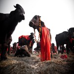 Waiting-to-be-killed-during-Dahsin-and-Gadhimai