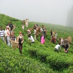 tea-garden-nepal