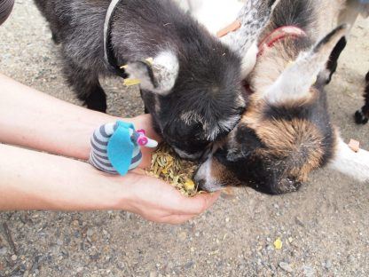 Ofelia sits in a hand as the goats are fed