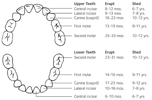 Baby teeth eruption chart also charts american dental association rh mouthhealthy
