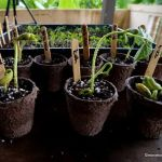 growing seedlings in Cambodia
