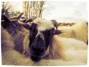 Om een lid van onbesproken gedrag van een kudde schapen te zijn, dient men eerst en vooral schaap te zijn. Albert Einstein