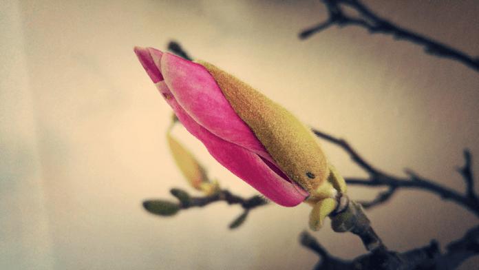Wij leven in een tijd, waarin de groene knop De ontloken bloem haar ouderdom verwijt, De bloesems veel meer gelden dan de vrucht. H.J. Schimmel