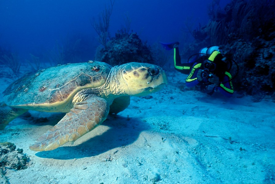 Scuba with Turtles