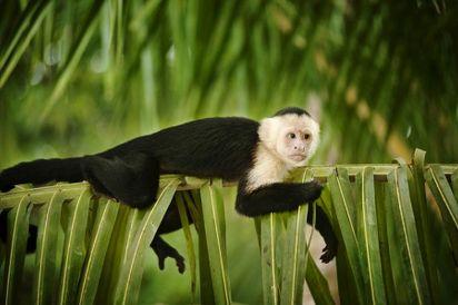 Monkey near Manuel Antonio