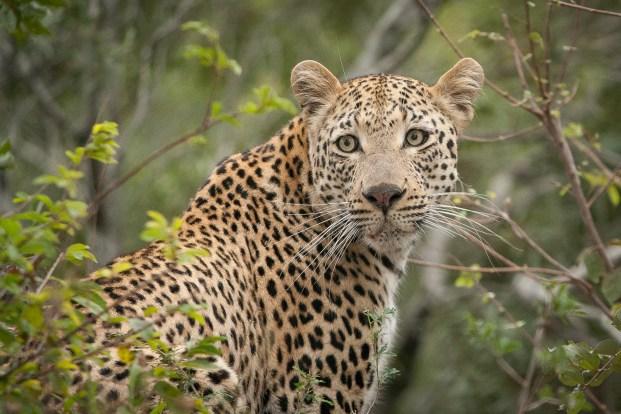 South Africa Kruger Leopard