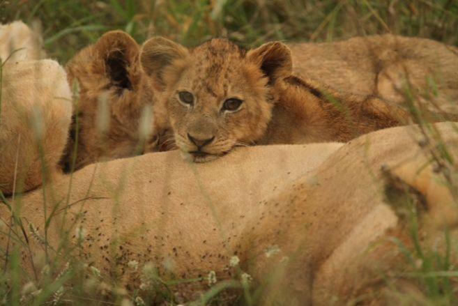 South Africa Kruger Timbavati