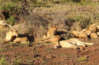 Pride of Lion Singita Lebombo