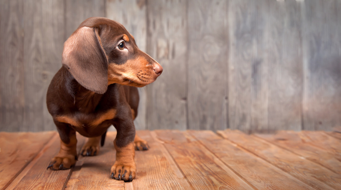 iStock Puppy Image