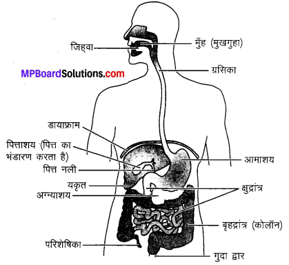 MP Board Class 10th Science Solutions Chapter 6 जैव प्रक्रम 15