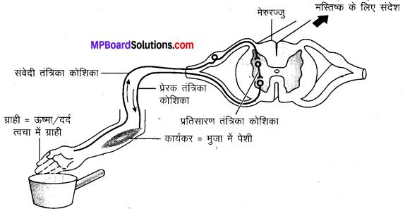 MP Board Class 10th Science Solutions Chapter 7 नियंत्रण एवं समन्वय 8