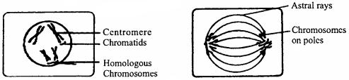 MP Board Class 11th Biology Solutions Chapter 10 कोशिका चक्र और कोशिका विभाजन - 4