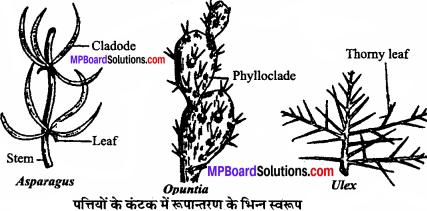 MP Board Class 11th Biology Solutions Chapter 5 पुष्पी पादपों की आकारिकी - 17