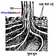 MP Board Class 11th Biology Solutions Chapter 5 पुष्पी पादपों की आकारिकी - 39