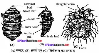 MP Board Class 11th Biology Solutions Chapter 5 पुष्पी पादपों की आकारिकी - 45